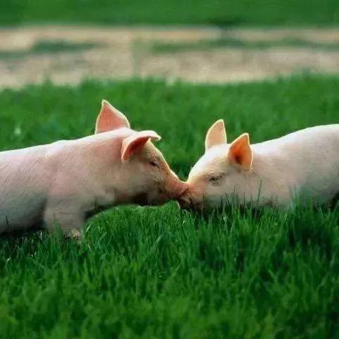 夏天高温给猪降温千万不要泼冷水?