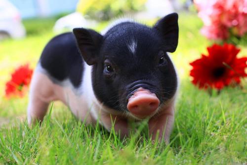 怎么提高小猪仔的疫苗免疫力?