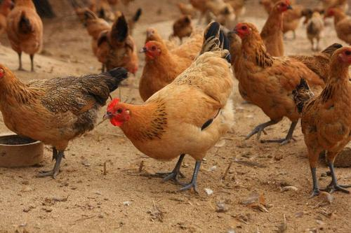 怎么给蛋鸡进行人工强制换羽?