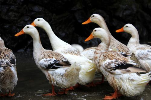 在春天养鸭子要注意什么?