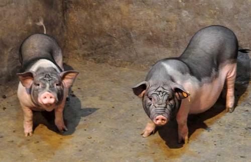 新淮猪适合怎样的饲养环境?