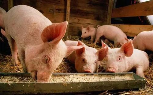 夏季猪容易掉膘怎么办?