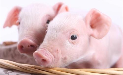 猪仔养多长时间能够变成母猪?