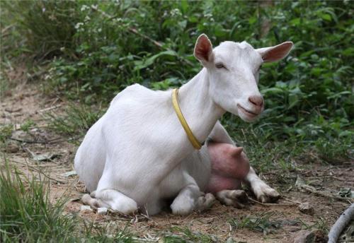 如何提高奶羊的产奶量?