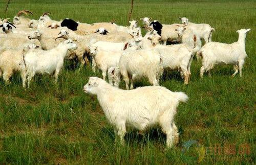圈养羊在冬天应该喂什么饲料?