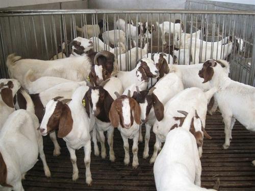 圈养羊怎么养?