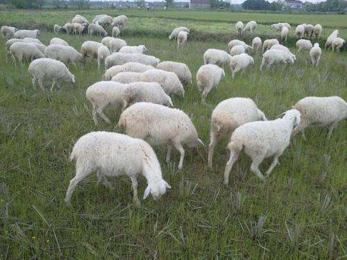 养羊到底是散养好还是圈养好?