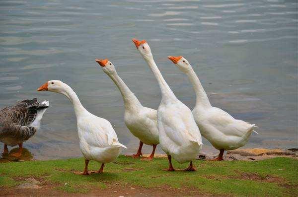 鹅苗养多少天能够散养?鹅苗何时养最好是?怎样饲养鹅苗?