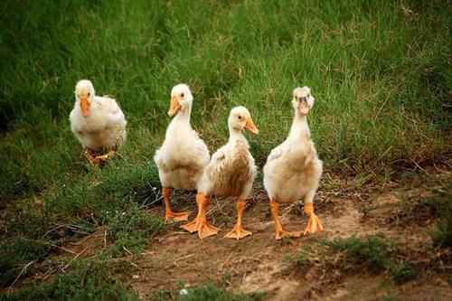 夏天养鸡这8件事情不能少