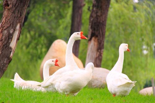 笼养蛋鸡软腿病怎么引起的?要怎么预防?